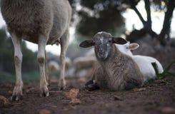 Newborn отдыхая овечка и стадо в зиме Стоковое фото RF