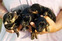 Newborn отечественные щенята Стоковое Изображение