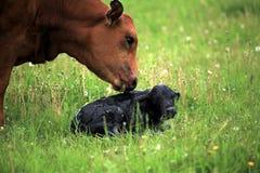 Newborn отелитесь и это мать Стоковое Изображение RF
