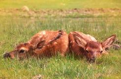 Newborn прятать икр лося младенца Стоковое Изображение