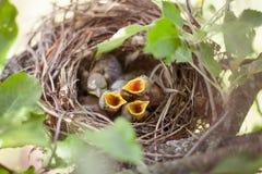Newborn птицы в гнезде Стоковые Фото
