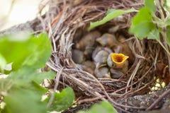 Newborn птицы в гнезде Стоковые Изображения RF