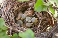 Newborn птицы в гнезде Стоковое фото RF