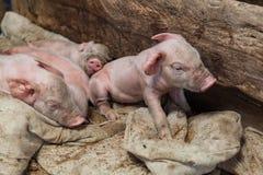 Newborn свиньи пошли спать на створке Стоковая Фотография
