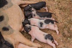 Newborn свиньи пробуют suckle от своей свиньи матери Стоковое Изображение RF