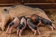 Newborn свиньи пробуют suckle от своей свиньи матери Стоковая Фотография RF