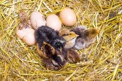 Newborn цыплята на соломе гнездятся в farm_ стоковые изображения