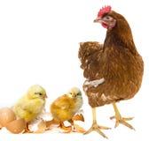 2 newborn цыплят и она Стоковое фото RF