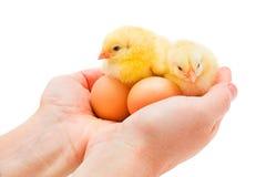 2 newborn цыплят сидя в человеческой руке Стоковые Фотографии RF