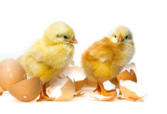 2 newborn цыплят Стоковая Фотография RF