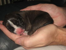 Newborn щенок луна боксера Стоковая Фотография