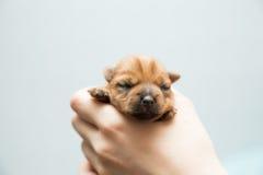 newborn щенок Стоковая Фотография