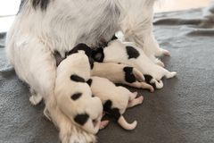 Newborn щенята собаки - 2 дня старого - питьевое молоко doggies терьера Джек Рассела на ее матери стоковые изображения rf