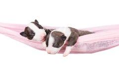 2 newborn щенят в гамаке Стоковая Фотография