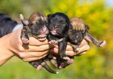 3 newborn щенят в женских руках Стоковая Фотография RF