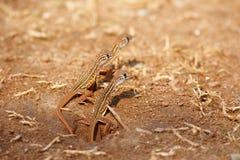 Newborn ящерица бабочки стоковая фотография