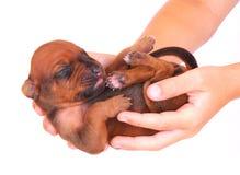 newborn щенок Стоковое Изображение RF