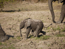 Newborn African bush elephant calf. Newborn African bush elephant (Loxodonta africana) in Zambia Royalty Free Stock Photography