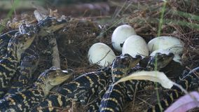 Newborn alligator near the egg laying in the nest.