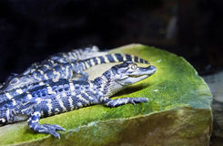 Newborn alligators Royalty Free Stock Images