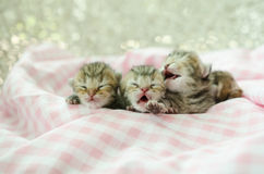 Newborn american shorthair kitten sleeping on table cloath Royalty Free Stock Photography