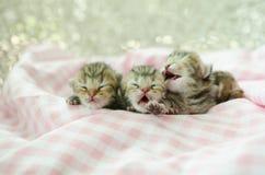 Newborn american shorthair kitten sleeping on table cloath. Newborn american shorthair kitten sleeping on pink table cloath Royalty Free Stock Photography