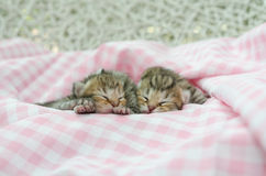 Newborn american shorthair kitten sleeping on table cloath Stock Photo
