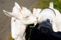 Newborn Animal Albino Goat Explores Camera Long Zoom Lens Stock Photography