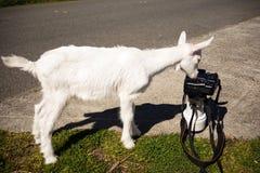 Newborn Animal Albino Goat Explores Camera Long Zoom Lens Royalty Free Stock Photos