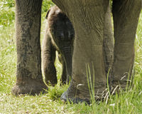 Newborn Asian Elephant Stock Image