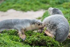 Newborn australian sea lion on bush background Stock Photos