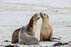 Newborn australian sea lion on sandy beach background Stock Photography