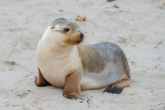 Newborn australian sea lion on sandy beach background Royalty Free Stock Images