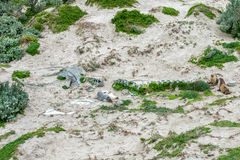 Newborn australian sea lion on sandy beach background Stock Photo
