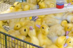 Newborn babies ducklings drinking water from an automatic drinker. Agricultural business. Farmer`s Market stock photo