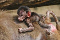 Newborn baby baboon Stock Image
