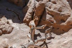 Newborn baby bighorn sheep with mother at Arizona-Sonora Desert. Tucson, AZ, March 23, 2016: Newborn baby Sierra Nevada bighorn sheep tries its legs while mother Stock Photo