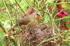 Newborn Baby Bird in a Nest. Royalty Free Stock Images