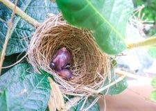 Newborn baby bird on nest. Newborn baby bird in nest on tree stock photography