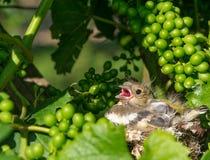 Newborn baby birds in nest Stock Photography