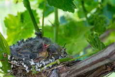Newborn baby birds in nest. On a vineyard royalty free stock images