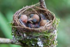 Newborn baby birds nest. Stock Photo