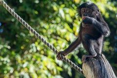 Newborn baby bonobo chimpanzee ape portrait close up. Portrait of newborn young bonobo ape close up looking at you Stock Photography