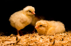 Newborn baby chickens under heat lamp. Two day old baby chickens huddled under heat lamp royalty free stock photography