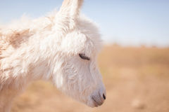Newborn baby donkey closeup Royalty Free Stock Image