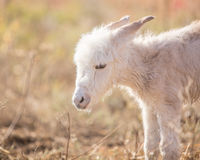 Newborn baby  miniature donkey Royalty Free Stock Image