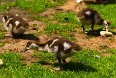 Newborn baby duck playing in the park stock image