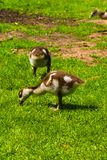Newborn baby duck playing in the park royalty free stock image