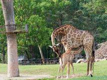 Newborn or baby giraffe drinks milk while mom cuddles her calf in a zoo show love and motherhood royalty free stock photo