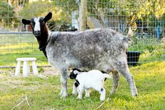 Newborn Baby kid miniature goat and nursing doe in grassy paddoc Stock Images